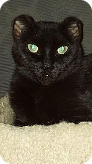 Domestic Shorthair Cat for adoption in Sunderland, Ontario - Austin