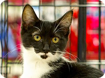 Domestic Shorthair Kitten for adoption in Great Falls, Montana - Kelsi