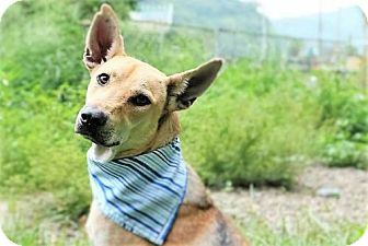 German Shepherd Dog/Greyhound Mix Dog for adoption in San Francisco, California - Eason