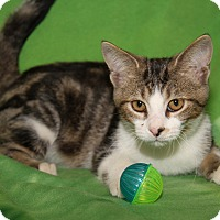 Domestic Shorthair Cat for adoption in Marietta, Ohio - Lafayette (Neutered)