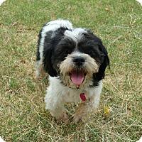 Shih Tzu Dog for adoption in Phoenix, Arizona - CHUCKIE