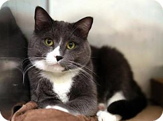 Domestic Shorthair Cat for adoption in New York, New York - Dominic