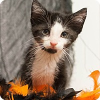 Domestic Shorthair Kitten for adoption in Muskegon, Michigan - Weston