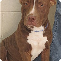 American Pit Bull Terrier Mix Dog for adoption in Mount Sterling, Kentucky - Harry