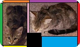 American Shorthair Kitten for adoption in wayne, Michigan - Bright Eyes