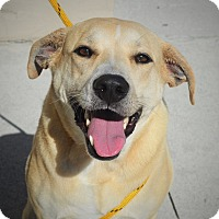 Labrador Retriever Mix Dog for adoption in Wilmington, North Carolina - Brandi