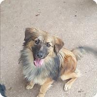 Adopt A Pet :: Sitka - Snyder, TX