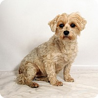 Adopt A Pet :: Pip Maltese Terrier - St. Louis, MO