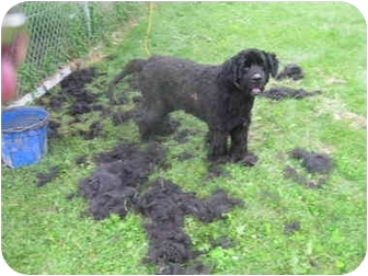 Newfoundland Dog for adoption in Racine, Wisconsin - Dugan