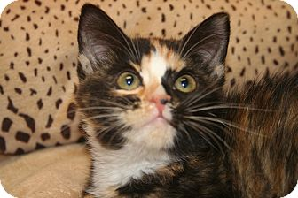 Calico Kitten for adoption in SILVER SPRING, Maryland - CHARLOTTE