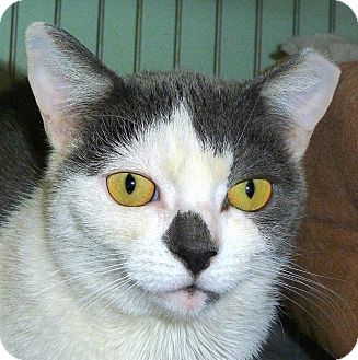 Domestic Shorthair Cat for adoption in Carmel, New York - Candid