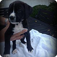 Adopt A Pet :: Jameson - Sinking Spring, PA
