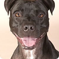 Adopt A Pet :: Champ - Chicago, IL
