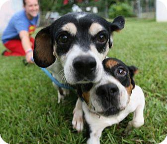 Beagle Mix Dog for adoption in Sarasota, Florida - Gwen and Gavin - Bonded Pair