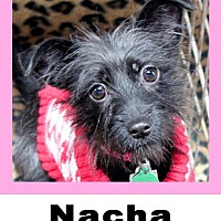 Schnauzer (Miniature)/Chihuahua Mix Dog for adoption in Plano, Texas - Nacha