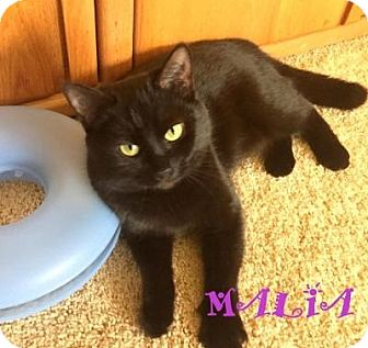 "Domestic Shorthair Cat for adoption in Mooresville, North Carolina - Malia  ""I have a special adoption fee"""