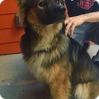 Keeshond Mix Dog for adoption in Austin, Texas - Drake
