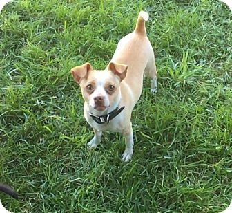 Chihuahua Mix Dog for adoption in Va Beach, Virginia - Paulie