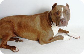 Pit Bull Terrier Mix Dog for adoption in Redding, California - Rosie