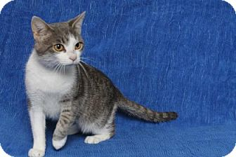 Domestic Shorthair Cat for adoption in Gloucester, Virginia - QUEEN