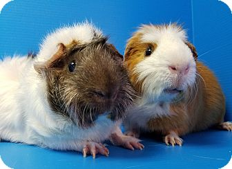 Guinea Pig for adoption in Lewisville, Texas - Buzz and Woody