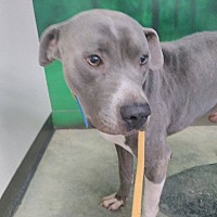 American Staffordshire Terrier/American Pit Bull Terrier Mix Dog for adoption in Covington, Tennessee - Grant