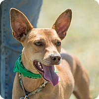 Manchester Terrier/Doberman Pinscher Mix Dog for adoption in Santa Monica, California - Diego