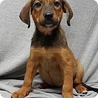 Adopt A Pet :: Victoria - Champaign, IL
