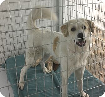 Great Pyrenees Dog for adoption in Bloomington, Illinois - Nickie