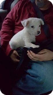 Collie/Terrier (Unknown Type, Medium) Mix Puppy for adoption in New York, New York - Skittles