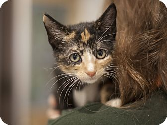 Domestic Shorthair Kitten for adoption in Dallas, Texas - LeeAnn