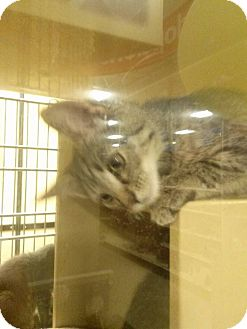 Domestic Shorthair Kitten for adoption in Northfield, Ohio - Tank