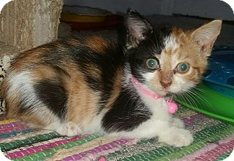 Domestic Shorthair Kitten for adoption in Winterville, North Carolina - PAISLEY
