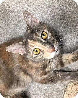 Domestic Shorthair Cat for adoption in San Francisco, California - Autumn