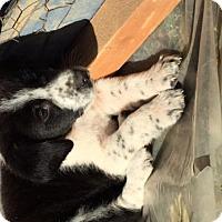 Adopt A Pet :: Baby Sammy-Adoption Pending - Rockville, MD