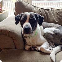 Adopt A Pet :: Adelle - Harrison, NY
