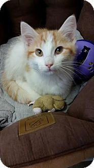 Domestic Shorthair Kitten for adoption in Chippewa Falls, Wisconsin - Chandler