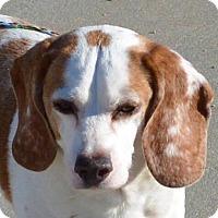 Adopt A Pet :: Simpson - Southbury, CT