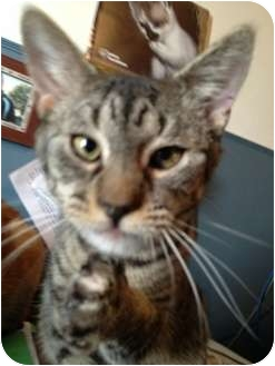 Domestic Shorthair Cat for adoption in Wenatchee, Washington - Ziggy