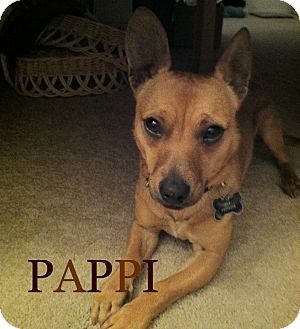 Dachshund/Chihuahua Mix Dog for adoption in San Diego, California - Pappi URGENT