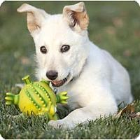 Adopt A Pet :: Popcorn - Denver, CO