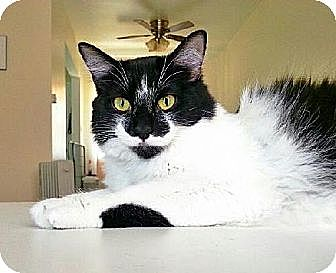 Domestic Mediumhair Cat for adoption in Los Angeles, California - Penelope