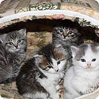 Adopt A Pet :: Bunch of Kittens - Westfield, MA