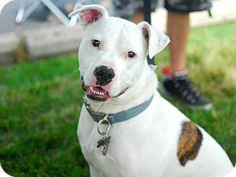 Detroit, MI - Dogo Argentino Mix. Meet Marco a Dog for ...