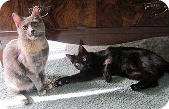 Domestic Shorthair Cat for adoption in Lansdowne, Pennsylvania - Louise