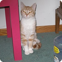Domestic Shorthair Cat for adoption in Rochester, Minnesota - Lovey