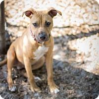 Adopt A Pet :: Francisco - Bradenton, FL