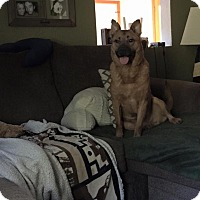 Shepherd (Unknown Type) Mix Dog for adoption in Maryville, Illinois - Scooby