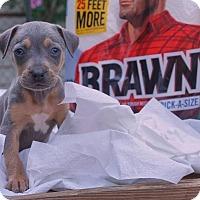 Adopt A Pet :: Brawny - Greensboro, NC