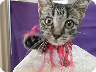 Domestic Shorthair Kitten for adoption in Bucyrus, Ohio - Hurricane Hernie